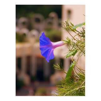 Bindweed.jpg Postcard
