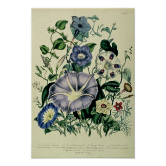 Bindweed, plate 26 from 'The Ladies Poster