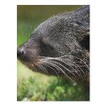 Binturong Bear Postcard