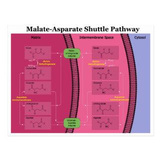 Biochemical Malate Aspartate Shuttle Diagram Postcard