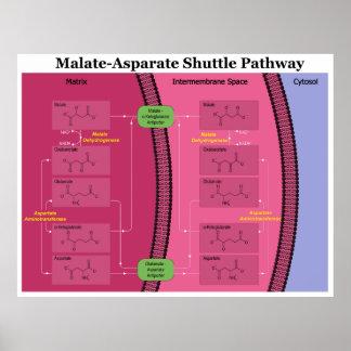 Biochemical Malate Aspartate Shuttle Diagram Poster