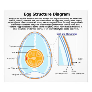 Biological Diagram of the Anatomy of an Egg Photo Print