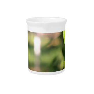 Birch branch with green leaves drink pitcher