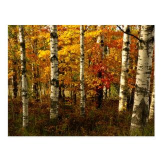 Birch Forest Postcard