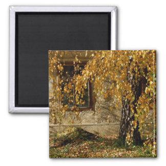 Birch In Autumn 2 Inch Square Magnet