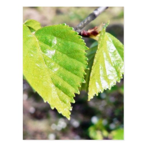 Birch Leaves Green Leaves Postcards