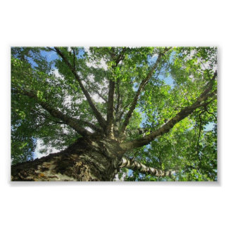 Birch tree from Sweden. Poster