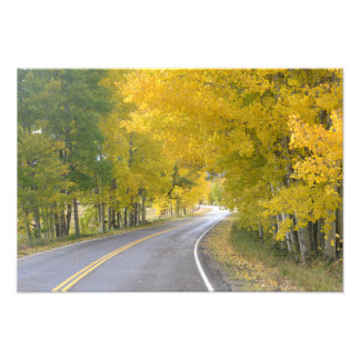 Birch tree lined road photographic print