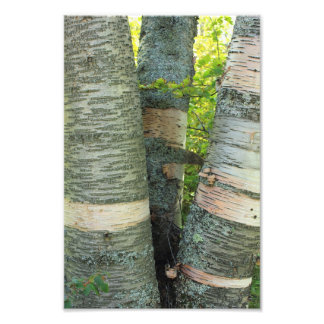 Birch Tree Photo