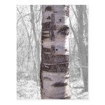 Birch Tree Post Cards