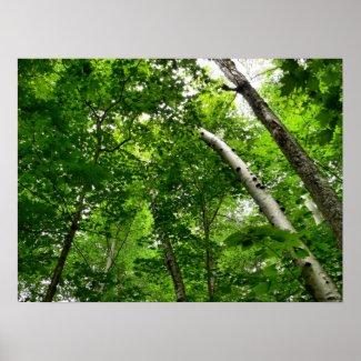 Birch tree Poster print