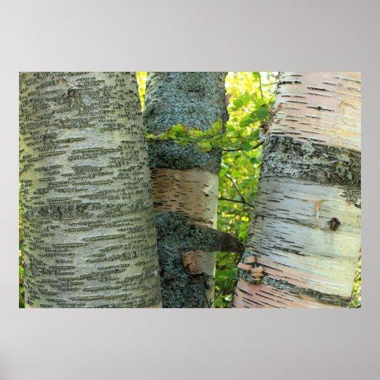 Birch Tree trunks Poster