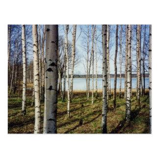 Birch trees forest in Finland Postcard
