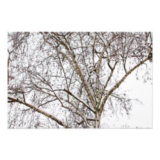 birch with snow photo print
