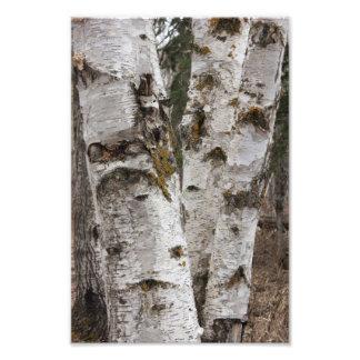 Birches Art Photo