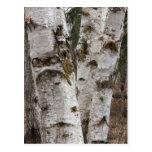 Birches Postcard