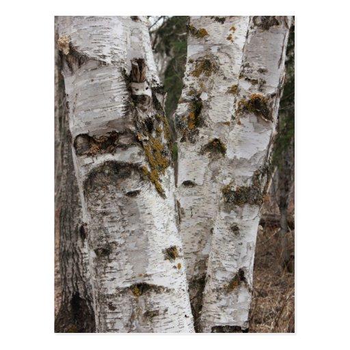 Birches Post Card