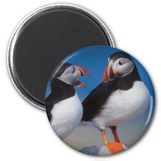 bird a pair of puffins 2 inch round magnet