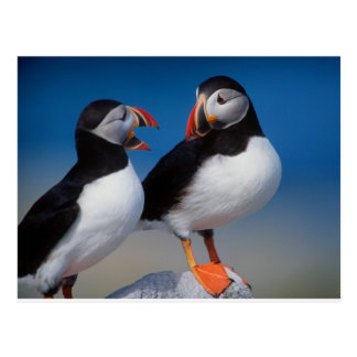 bird a pair of puffins postcard
