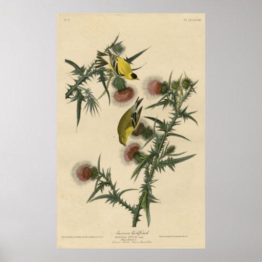 Bird, America, American Goldfinch, Audubon, Vintag Print