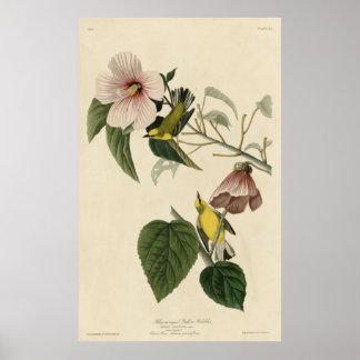 Bird, America, Blue Winged Yellow Warbler, Audubon Poster