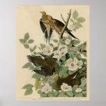 Bird, America, Carolina Turtle Dove, Audubon, Vint Posters