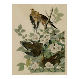Bird, America, Carolina Turtle Dove, Audubon, Vint Poster