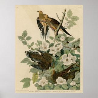 Bird, America, Carolina Turtle Dove, Audubon, Vint Poster