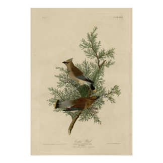 Bird, America, Cedar Bird, Audubon, Vintage Poster