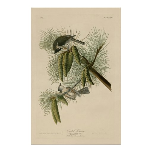 Bird, America, Crested Titmouse, Audubon, Vintage Posters