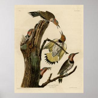 Bird, America, Golden Winged Woodpecker, Audubon, Poster