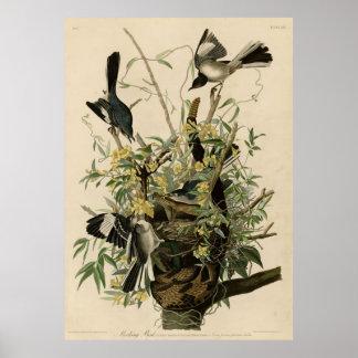 Bird, America, Mocking Bird, Audubon, Vintage Poster