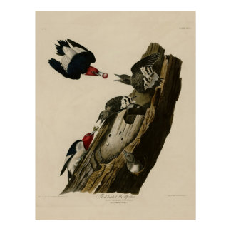 Bird, America, Red Headed Woodpecker, Audubon, Vin Poster