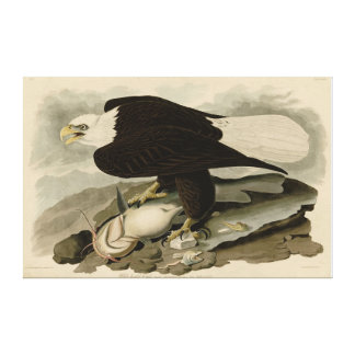Bird, America, White Headed Eagle, Audubon, Canvas