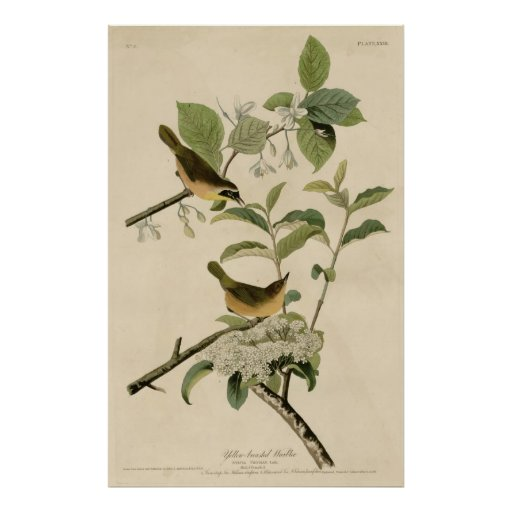 Bird, America, Yellow Breasted Warbler, Audubon Póster