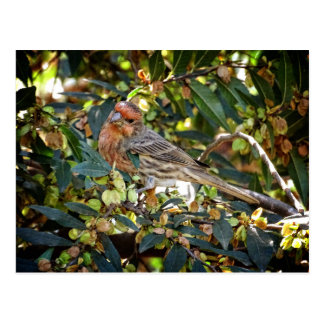 Bird - House Finch Postcard
