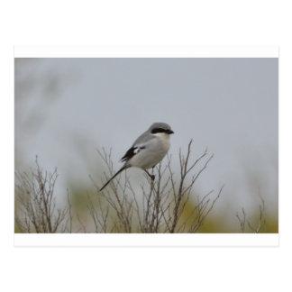 Bird Loggerhead Shrike Nest Nature Postcard