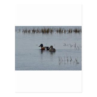 Bird Northern Shoveler Duck Nature Postcard