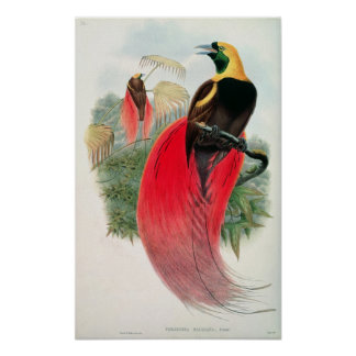 Bird of Paradise, engraved by T. Walter Poster