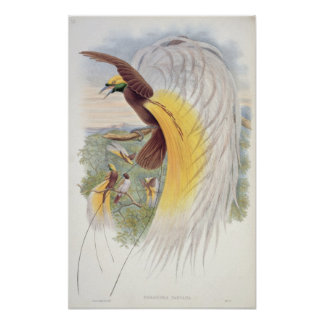 Bird of Paradise, from 'Birds of New Guinea' Poster