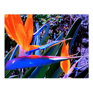 Bird of Paradise Hawaii Postcard