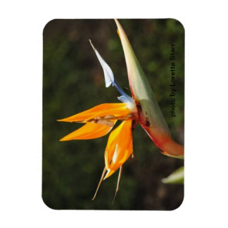 Bird of Paradise Magnet photo by Lorette  Starr
