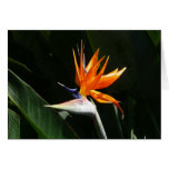 Bird of Paradise Orange Tropical Flower Card
