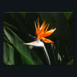 "Bird of Paradise Orange Tropical Flower Photo Print<br><div class=""desc"">Here&#39;s a lovely,  tropical bird of paradise flower. This picture was taken in the conservatory at Brookside Gardens in Maryland.  Check out our store for more beautiful tropical flowers,  including some photographed in the wild.  This photo is also featured as the widescreen wallpaper &quot;Bird of Paradise&quot; from MLeWallpapers.com.</div>"