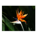 Bird of Paradise Orange Tropical Flower Postcard