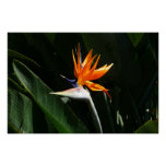 Bird of Paradise Orange Tropical Flower Poster