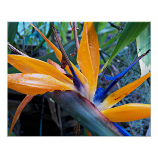 Bird of Paradise Plant Floral Poster