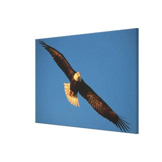Bird of Prey, Bald Eagle in flight, Kachemak Canvas Print