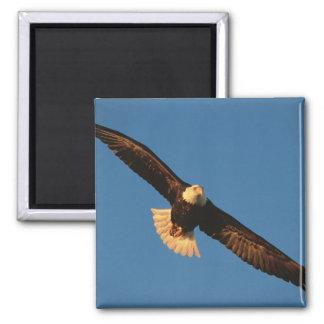 Bird of Prey, Bald Eagle in flight, Kachemak Magnet