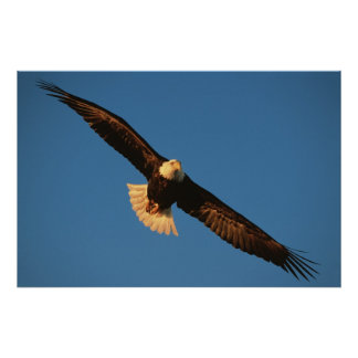Bird of Prey, Bald Eagle in flight, Kachemak Poster